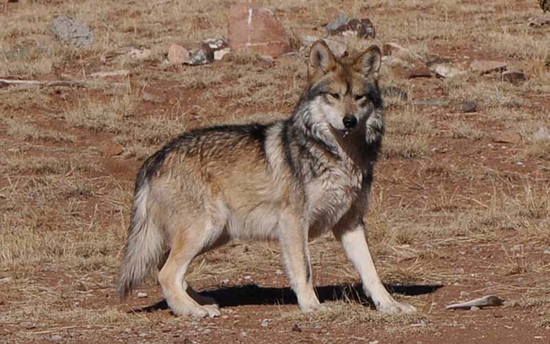 A Mexican gray wolf at the Sevilleta Wolf Management Facility in New Mexico in 2011. Efforts to reintroduce the animals in Arizona and New Mexico have met with limited success - there are currently just 58 in the wild in the two states. (Photo provided by U.S. Fish and Wildlife Service)