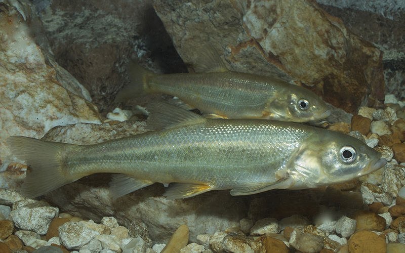 The minnowlike Gila Chub, found in Arizona and New Mexico, is threatened by loss of habitat and has been listed as an endangered species since 2005. (Photo by Brian Gratwicke via flickr/Creative Commons)