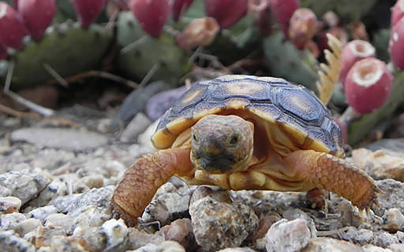 A young Sonoran desert tortoise. The U.S. Fish and Wildlife Service has removed the species from consideration for protection under the Endangered Species Act. (U.S. Fish and Wildlife Service Photo)