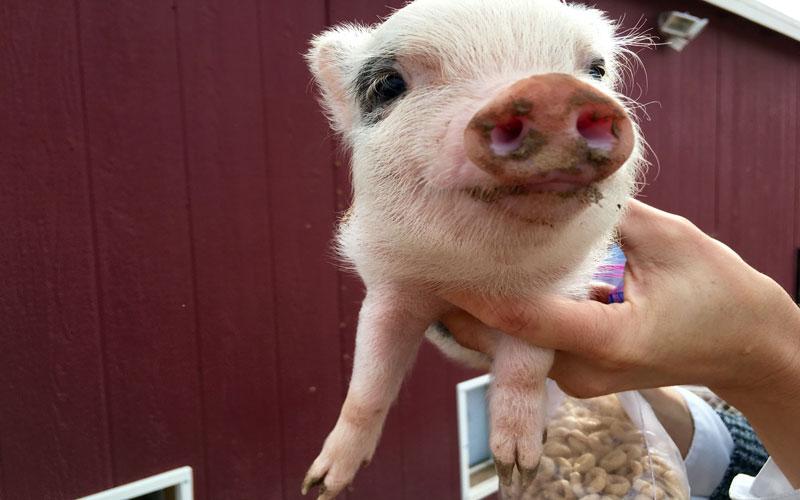 Mini Pig photo