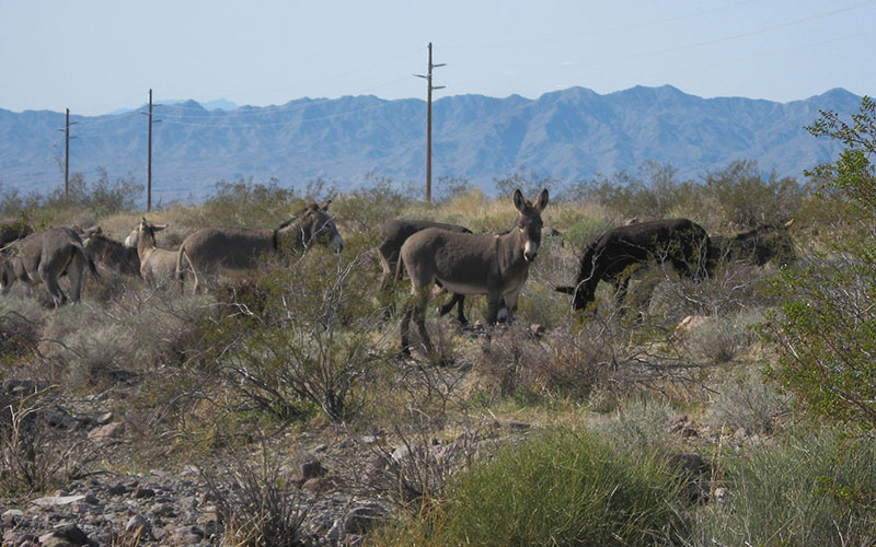 More that 4,000 wild burros live in western Arizona, which federal officials say it three times the amount the land can support. Now, federal and local officials are talking about ways to rein in the herds.