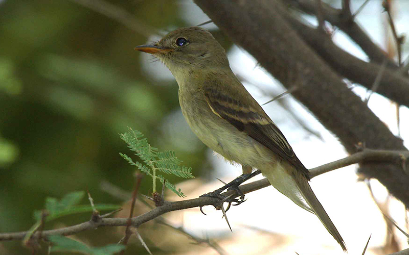 A Southwestern willow flycatcher, which favors trees and shrubs near waterways, has been listed as an endangered species since 1995. (Photo by Jim Rorabaugh via U.S. Fish and Wildlife Service)