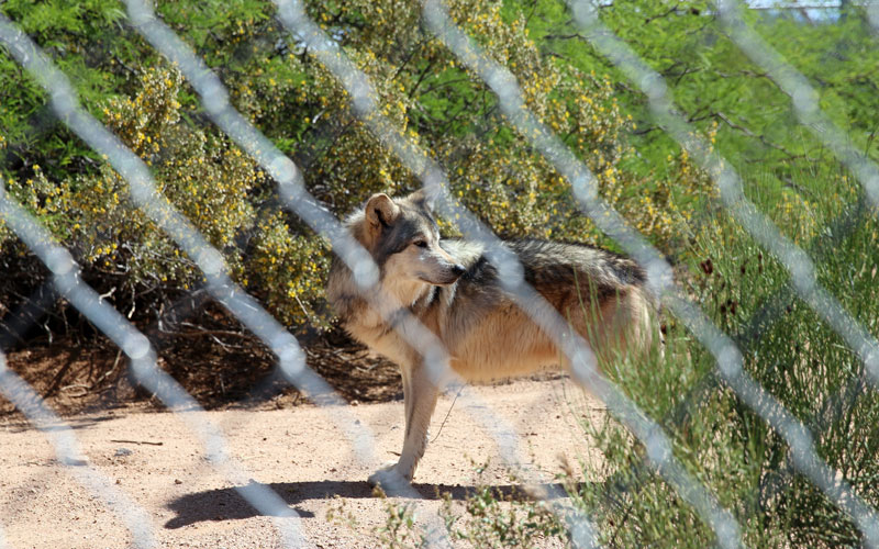 Mexican gray wolf photo
