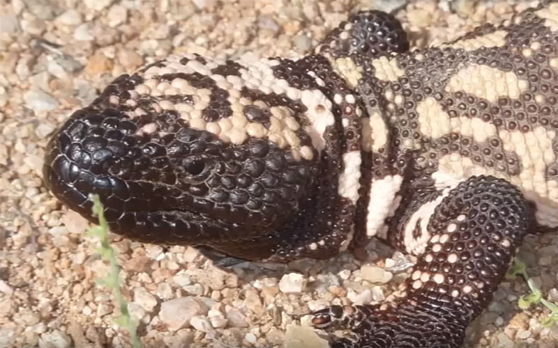 Two ASU professors have launched a crowd-funding campaign to help start a Gila Monster Genome project. (Photo courtesy of Dale Denardo/ASU)