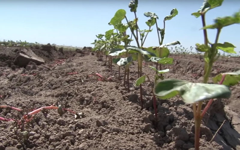 Drip irrigation is just one of the ways farmers in Yuma are working to maximize their use of water, as the region struggles through another year of drought.
