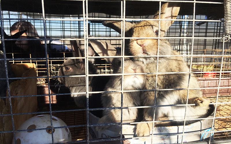 Jing Lv keeps rabbits in the menagerie of animals at her Buckeye home. (Photo by Jiahui Jia/Cronkite News)