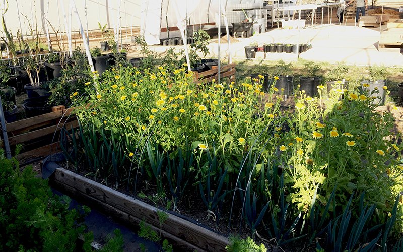 Jing Lv has a green garden full of different kinds of Chinese vegetables. (Jiahui Jia/Cronkite News)