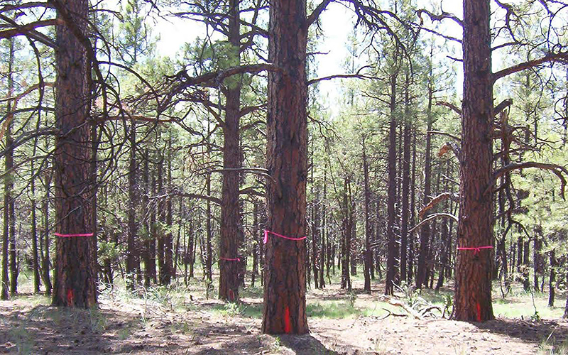 Large trees marked to be spared ahead of a forest restoration project near Williams. Unmarked trees are cleared to help prevent the spread of wildfire should one break out. (Photo courtesy of U.S. Forest Service)