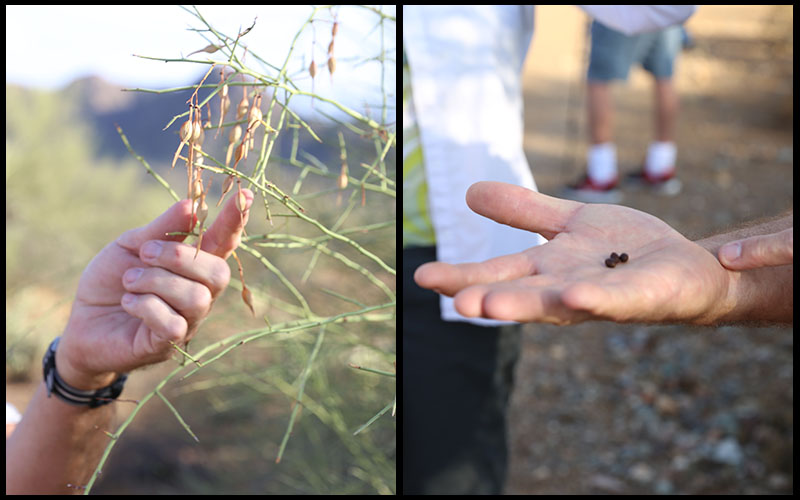Palo Verde pods may litter the ground but these hard seeds make a great snack after they've been roasted. (Photos by Elizabeth S. Hansen/Cronkite News)