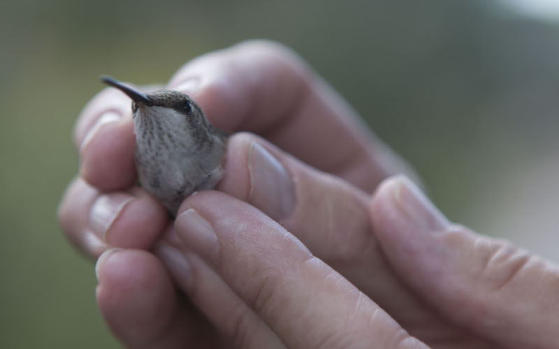 A volunteer at  session to band hummingbirds holds a bird for the audience. (Photo by Kristiana Faddoul/Cronkite News)