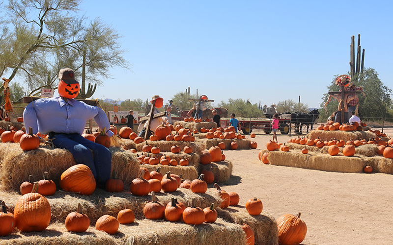 Leftover pumpkins at MacDonald's Ranch are repurposed by donating them to a local animal conservation group and food banks and feeding them to their cattle. (Photo by Kristiana Faddoul/Cronkite News)