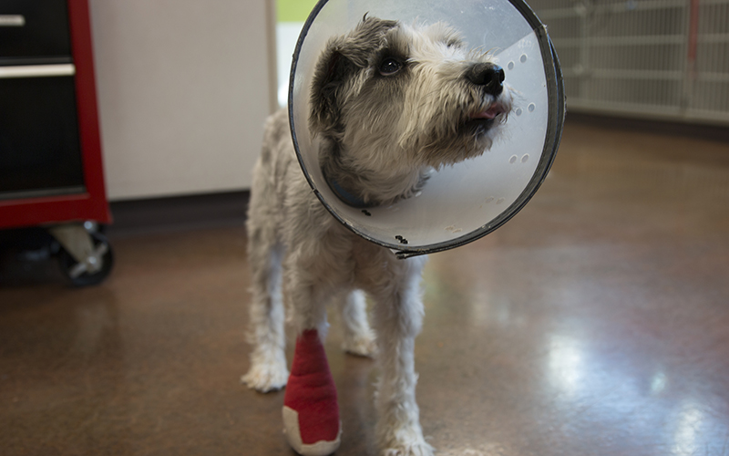 Mia, a rescued dog at Ingleside Animal Hospital, is up for adoption. It is not uncommon for veterinarians to prescribe painkillers to animals that suffer from chronic pain or that have undergone surgery. (Photo by Gavin Maxwell/Cronkite News)