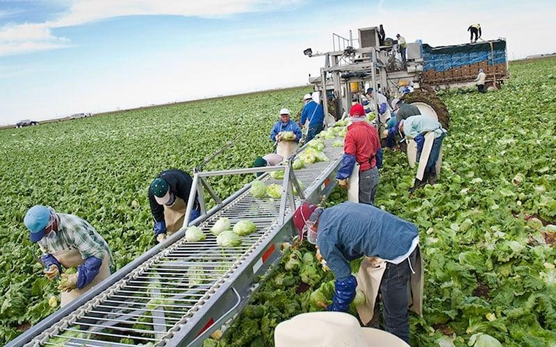 Farmworkers pick lettuce in Yuma in this 2013 file photo. (Photo by Michel Duarte/Cronkite Borderlands Initiative)