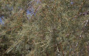 Salt Cedar trees