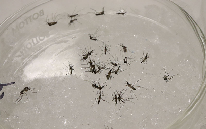Tiny Terrors Mosquitoes In Arizona And How To Avoid Them