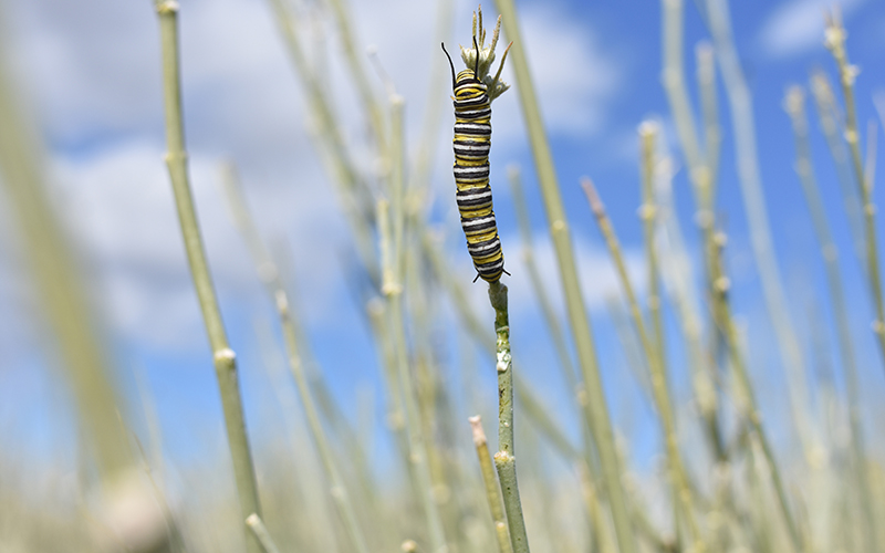 Population of migrating monarchs dwindling, but experts say it's not all doom and gloom