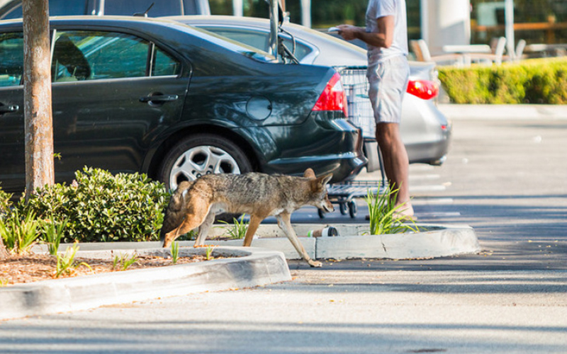 Scat party: To unlock the secrets of urban coyotes, biologists turn to poop