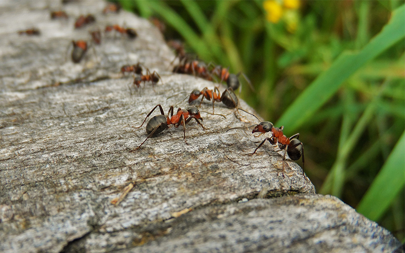 Ants are experts at avoiding traffic jams, researchers find