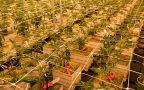 Proposition 207: What happens before recreational marijuana becomes legal in Arizona?