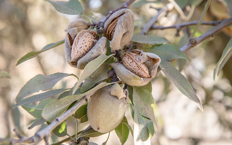 Almonds break out of their shells at an almond farm in Fresno, Calif.