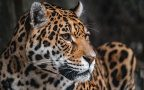Potential jaguar habitat at U.S.-Mexico border identified by UArizona researchers
