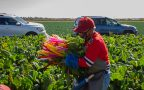 Laboring to remain healthy: COVID-19 takes toll on Arizona farmworkers